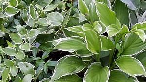 Kokoserde Für Welche Pflanzen : schattenpflanzen winterhart f r den garten beispiele ~ Orissabook.com Haus und Dekorationen