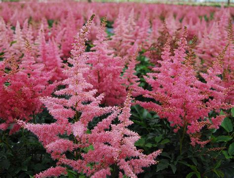 perennial flowers for shade astilbe flower tattoo www imgkid com the image kid has it