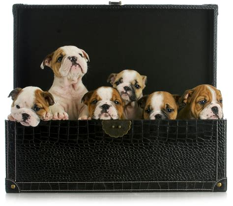 Man Arrested After  Ee  Bulldog Ee    Ee  Puppies Ee   Found In Suitcase Boing Boing