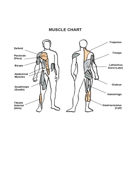 simple muscle chart