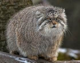 pallas cat pallas cats animals interesting facts pictures