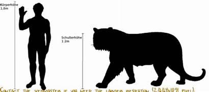 Tiger Tigers Bengal Compared Comparison Dragon Komodo