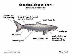 Shark  Greenland