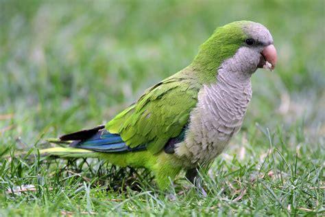 quaker bird the quaker parrot maryland pets