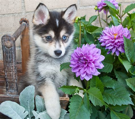 do pomskies shed bad pomsky pomeranian and siberian husky faq s pomsky pup