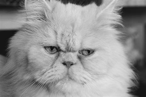 Persian Cat Life Expectancy How Long Do They Live