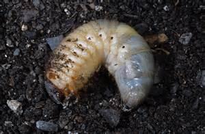Beetle Grub Identification