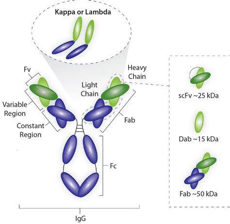 kappa light chain an industrial platform solution for antibody fragment