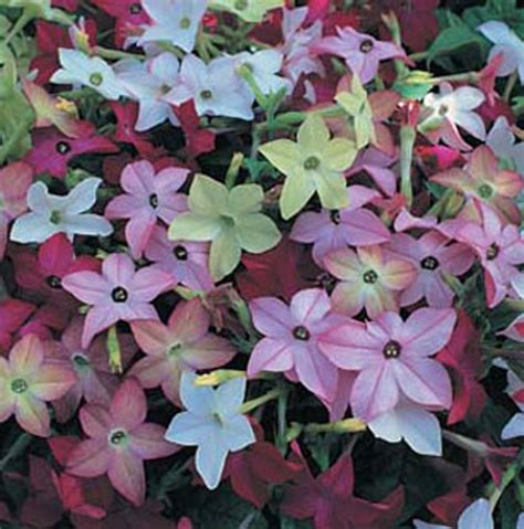 flowering tobacco nicotiana avalon mixed f1 flower seeds d t brown flower seeds