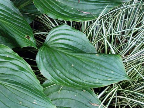 plants like hostas hosta plant gallery pictures