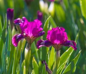 Iris, Plants