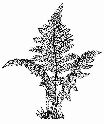 Fern Coloring Ferns Pages Leaves Leaf Plants