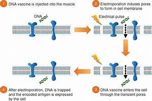 Tolerability Of Two Sequential Electroporation Treatments Using Medpulser Dna Delivery System
