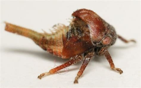 ugliest insect   world animals