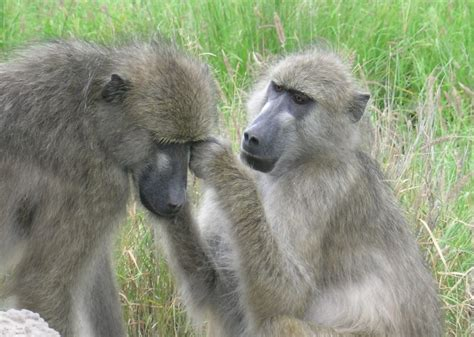 21 Things About (old World) Monkeys And Their Sexuality