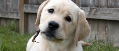 Interested in Becoming a Guide Dog Puppy Raiser?   Love
