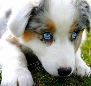 Australian Shepherd Puppy..would love to hook up our Black ...