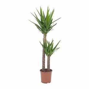 Plante D Extérieur En Pot : yucca elephantipes plante en pot ikea ~ Dailycaller-alerts.com Idées de Décoration