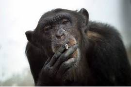 Funny-Monkey-Pictures-2  Funny Monkeys Smoking