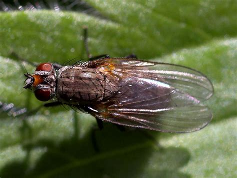 Fileflies Fly Wings Bugs Insectsjpg  Wikimedia Commons