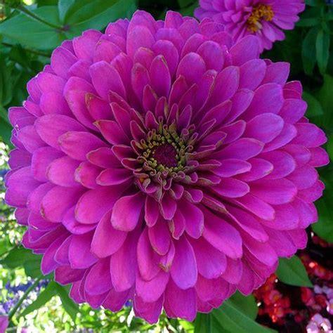 zinnia magenta zinnia zinnia fantastic florals