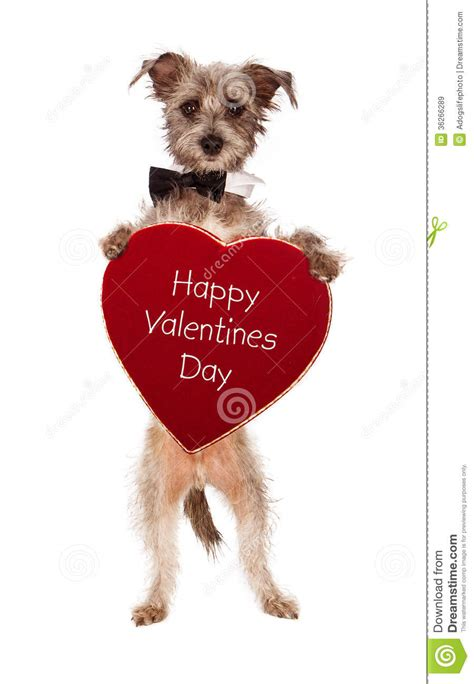 Terrier Dog Holding Happy Valentines Day Heart Stock Image ...