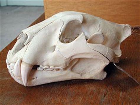die loewen panthera leo im museum wiesbaden