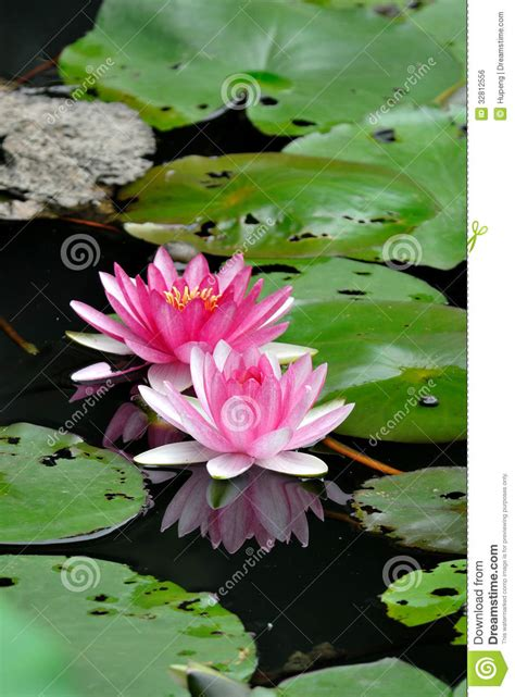 lotus flowers royalty  stock image image