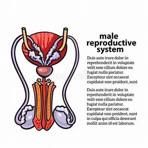 Male Reproductive System Stock Vector  Illustration Of