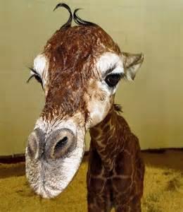Cheyenne Mountain Zoo Baby Giraffe
