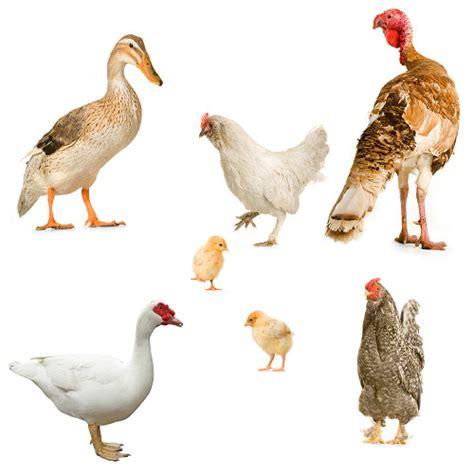 Quali Sono Gli Animali Da Cortile quali sono gli animali da cortile il mondo degli animali