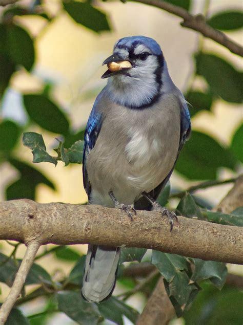 do blue jays like peanuts blue with peanut meats feederwatch