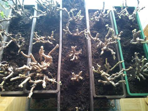 Geranien überwintern Im Blumenkasten by Geranien Pflanzen Pelargonien Einpflanzen