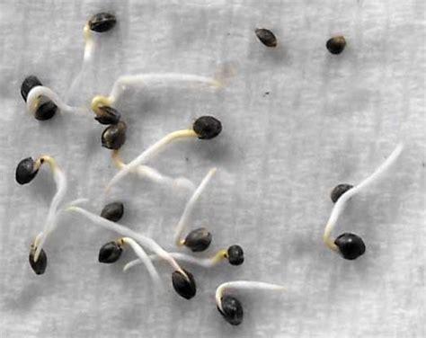 germinating cannabis seeds  paper towel step  step