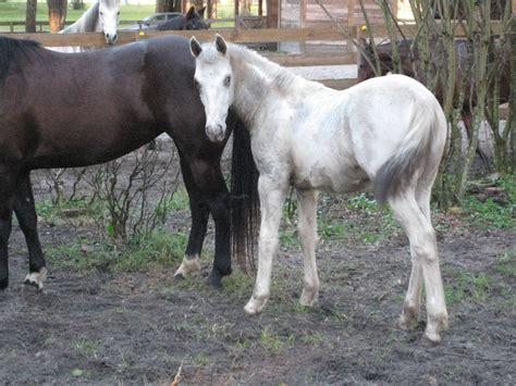appaloosa farms oaks horses