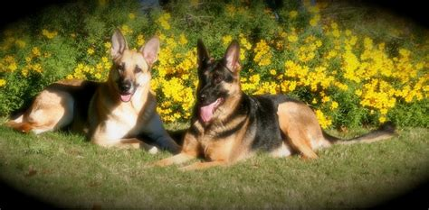 beautiful german shepherd dogs