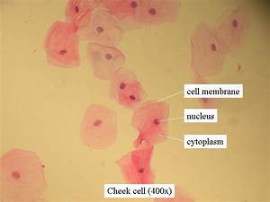 This is an image that shows a cheek cell under a ...