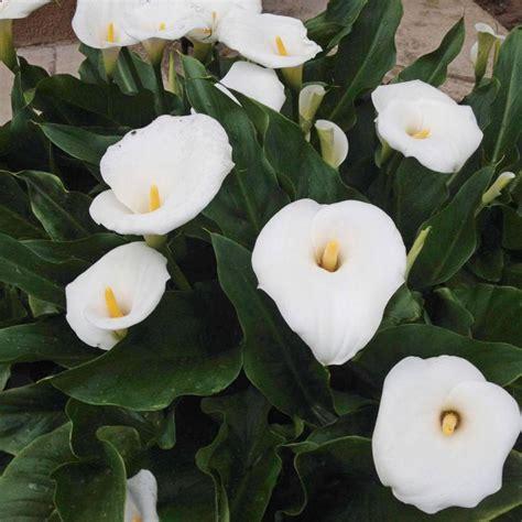 fiori calla calla zantedeschia aethiopica vivaio un quadrato