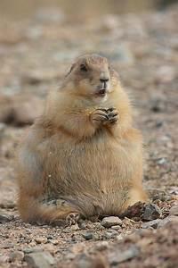 Fat Prairie Dog   Flickr - Photo Sharing!
