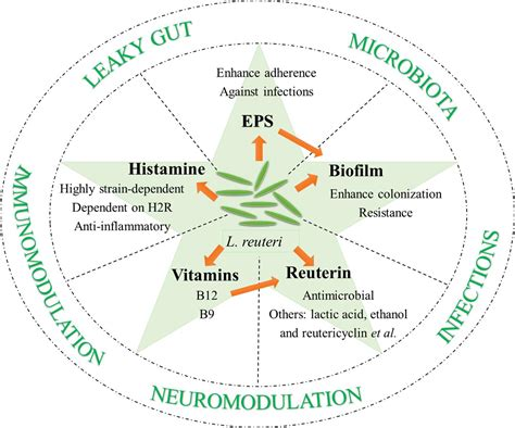 frontiers role  lactobacillus reuteri  human health