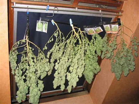 chambre de sechage cannabis mr green culture cannabis
