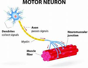 6  Structure Of Motor Unit  Image Reproduced With