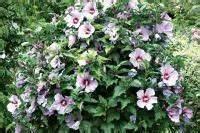 Taille Des Althéas : r ussir la taille de l 39 hibiscus syriacus ou alth a hibiscus shrubs garden et plants ~ Nature-et-papiers.com Idées de Décoration