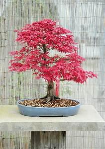 wunderschone bonsai baum kompositionen With französischer balkon mit japanischer ahorn garten