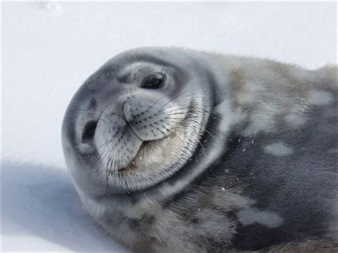 weddell seal knowledge base lookseekcom
