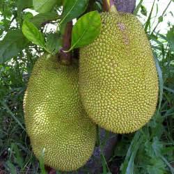 Jackfruit Fruit Benefits