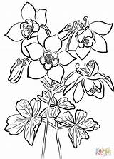 Columbine Coloring Fan Flowers Drawing Printable Supercoloring Categories sketch template