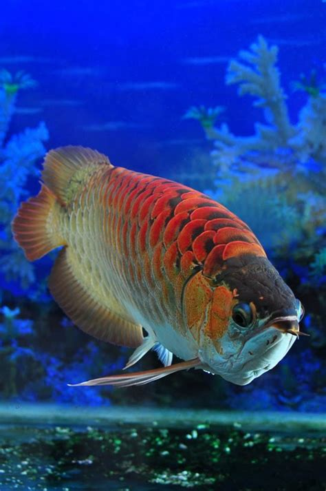 photographs  wallpaper arowana  red dragon fish