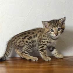 f2 kittens ocf21227b