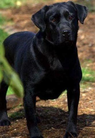 akc black english labrador puppies    sale